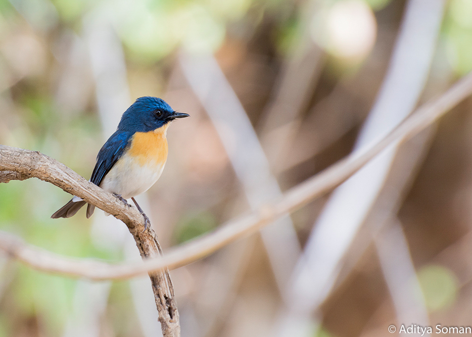 Tickell's Blue-Flycatcher